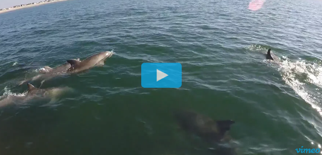 Video - Dolphins with Nik Pattantyus